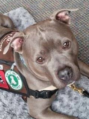 Pit-Bull-Therapy-Dogs-2.jpg