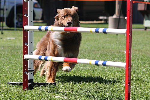 How to Get Involved in Dog Sports