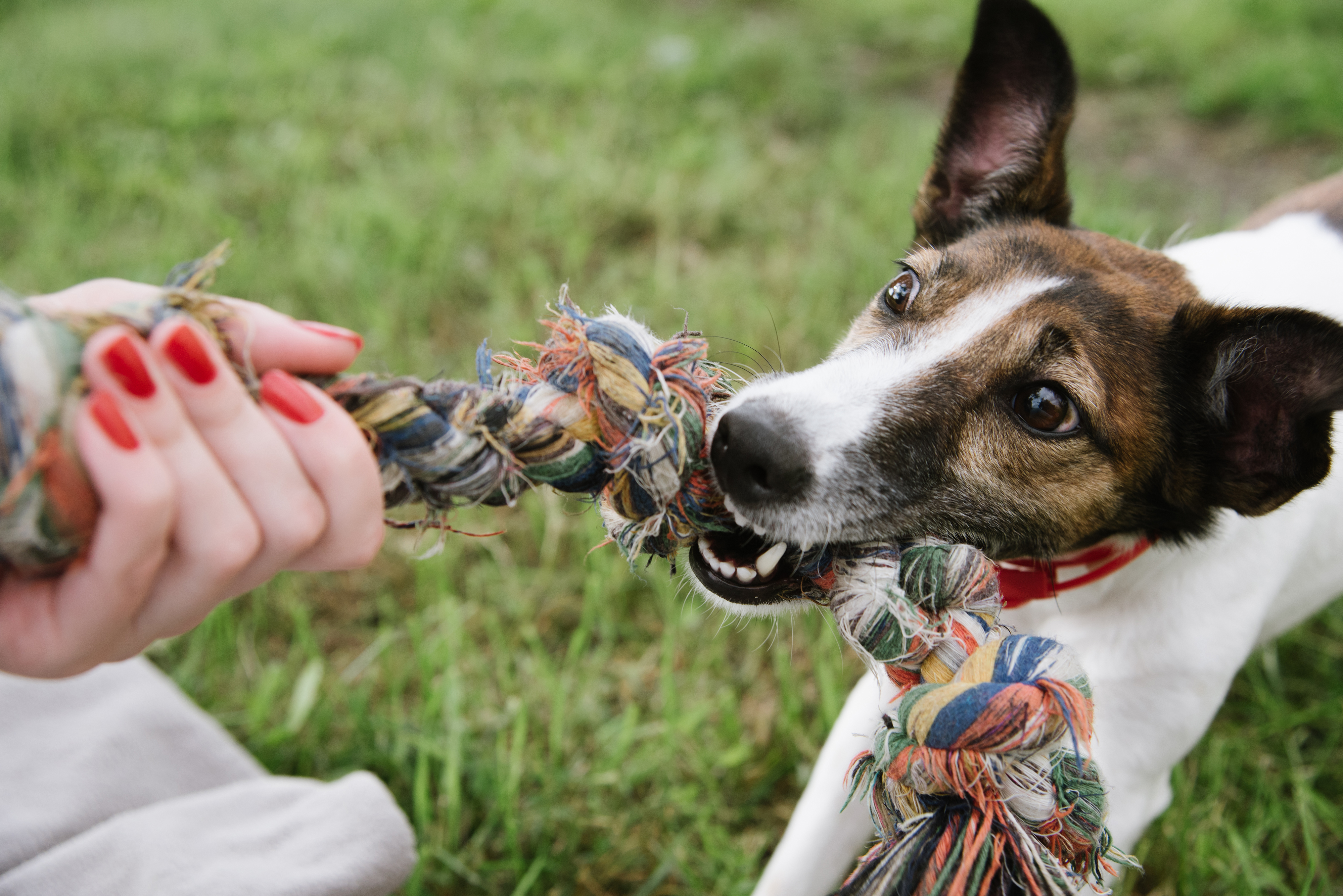 dog-play-with-rope-610958338_4000x2670.jpeg