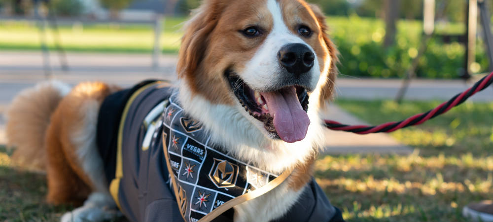 Dog in Golden Knights Jersey