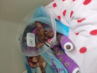 Minnie after surgery.jpg