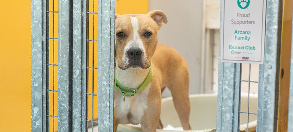 Adoptable dog in animal shelter